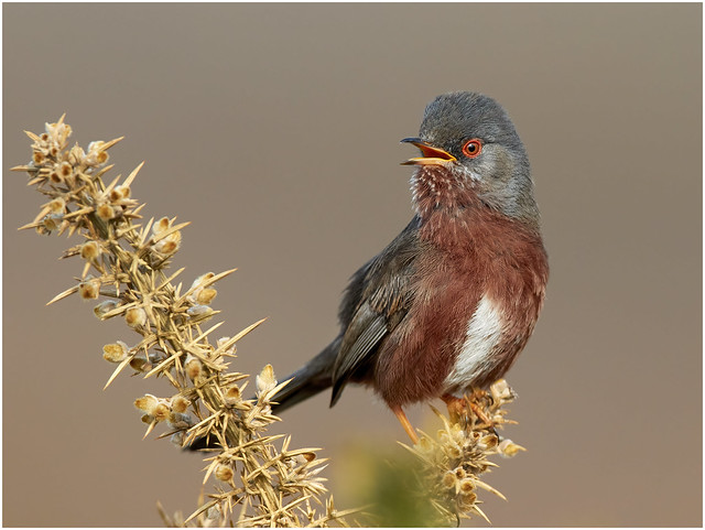 Another Dartford Warbler