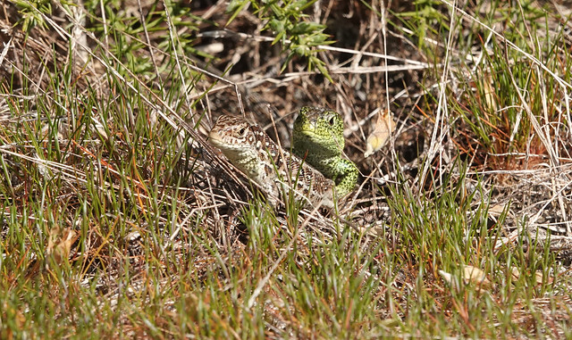 Sand Lizards (Lacerta agilis) ©