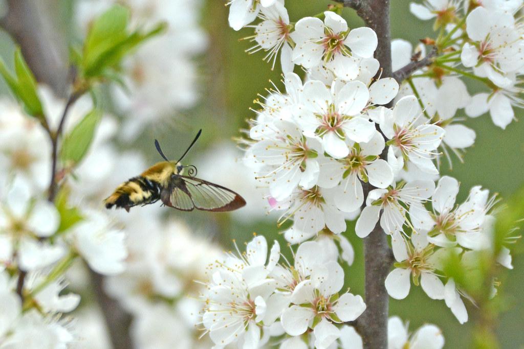 Spring Snowberry