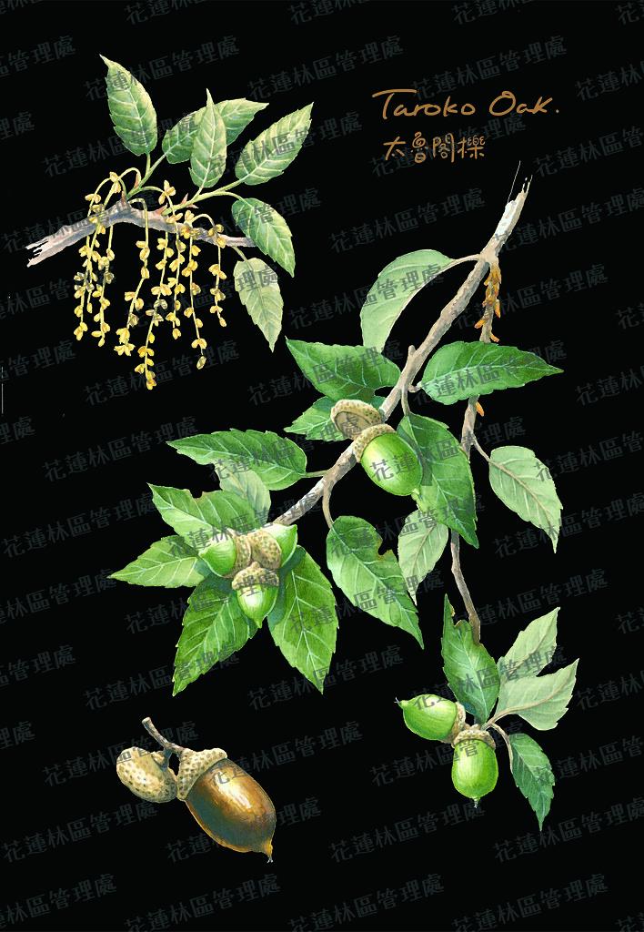 太魯閣櫟手繪圖。花蓮林管處提供