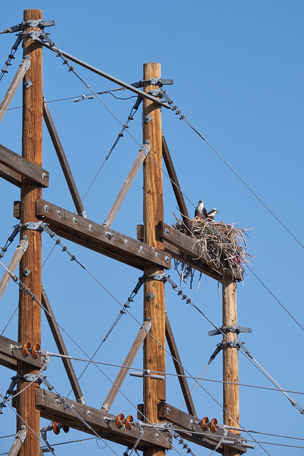 osprey for Telegraph Tuesday