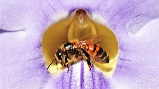 Bee in a light blue flower