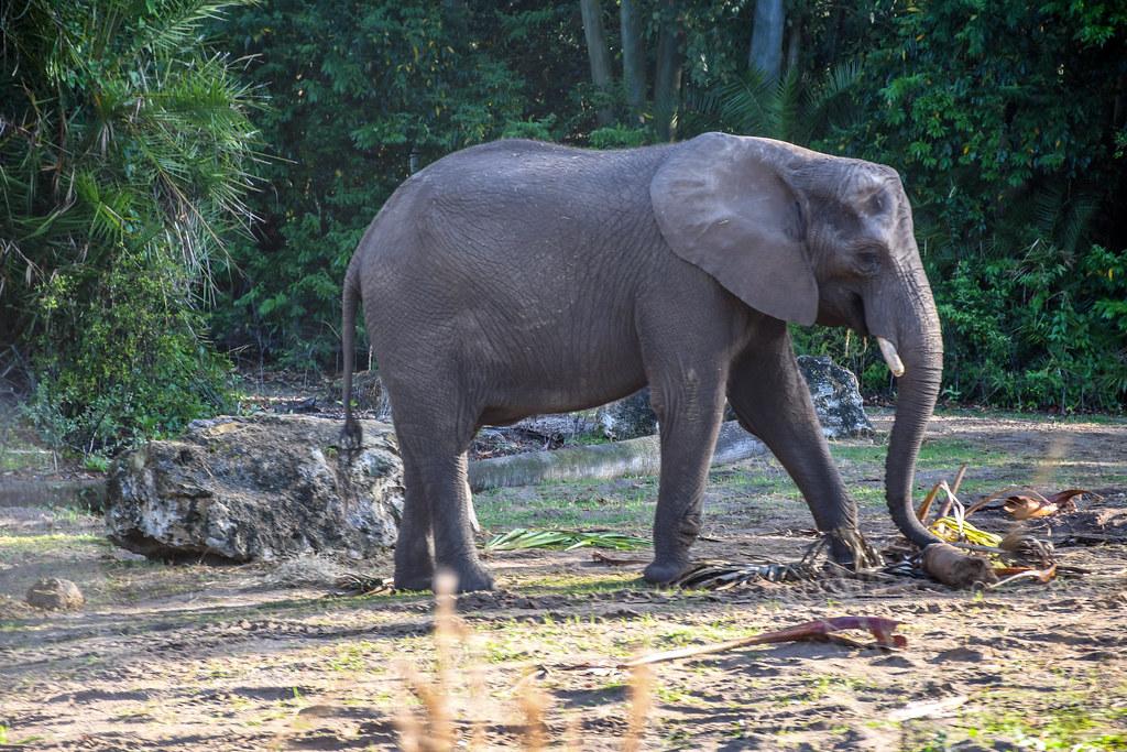 Safari AK elephant