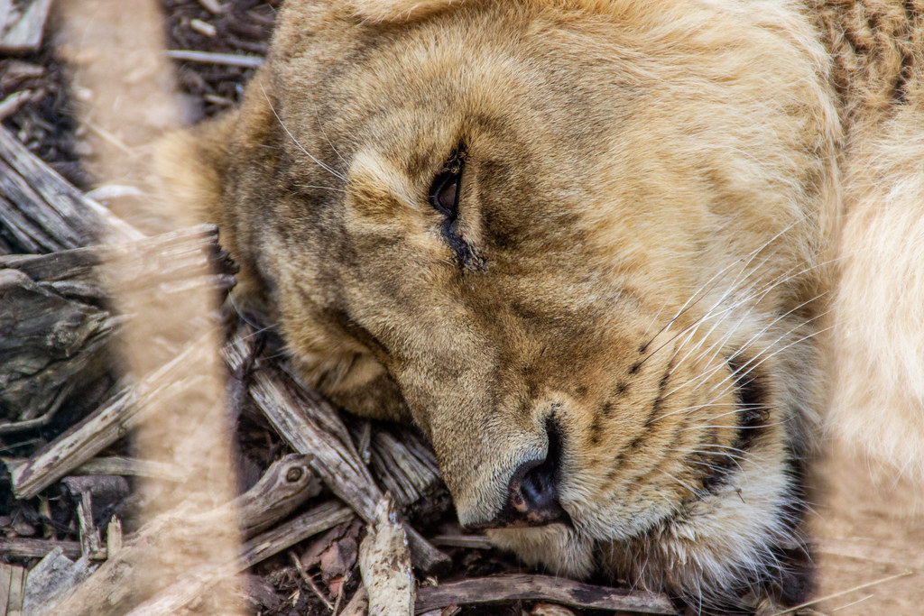 2021 - 04 - 17 - EOS 600D - Lioness - Chester Zoo - 000
