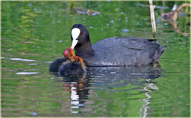 Coot with Chicks 2 of a family of 5 Chicks