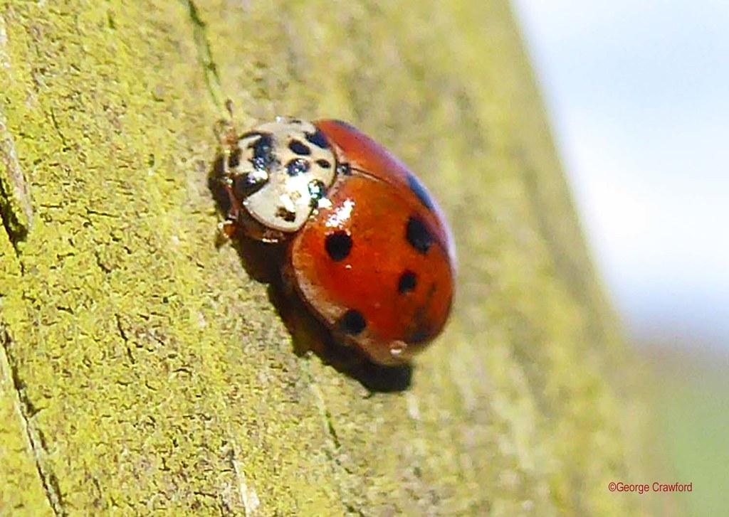 Ten Spot Ladybird2