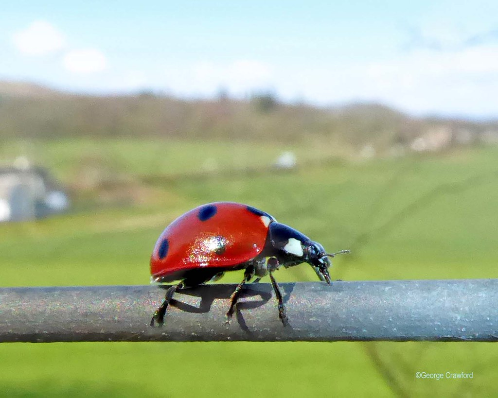 Ladybird on Fence Wire