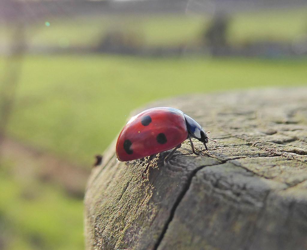 Ladybird on Top of Post2