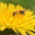 Andrena sp