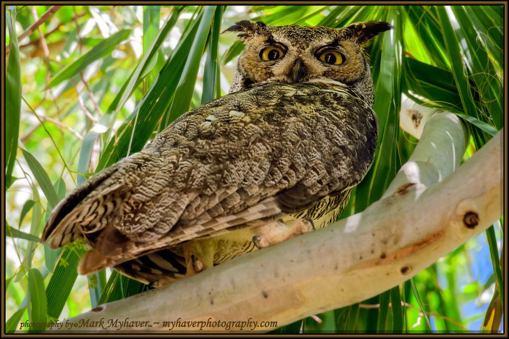 Great Horned Owl h20322
