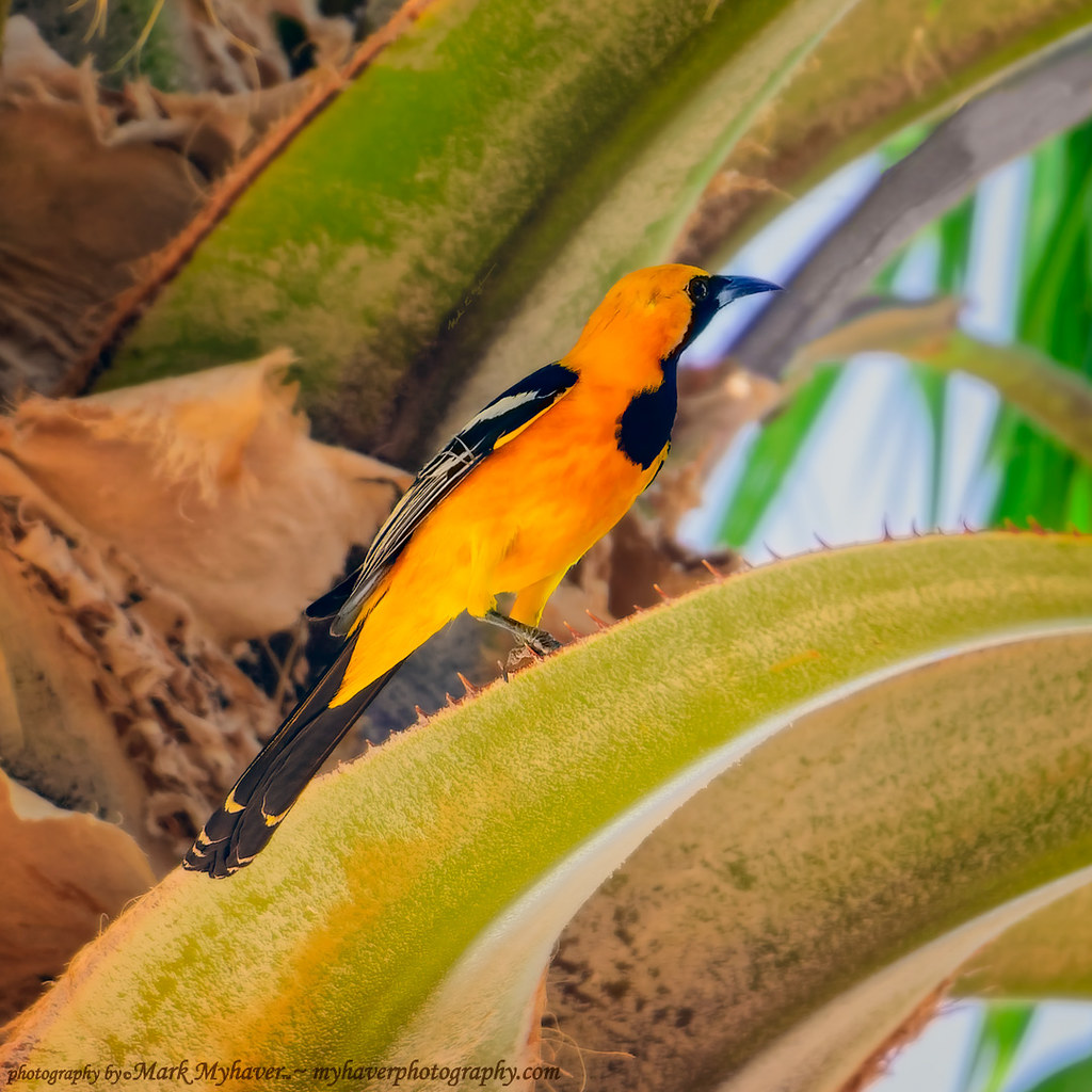 Hooded Oriole s132420