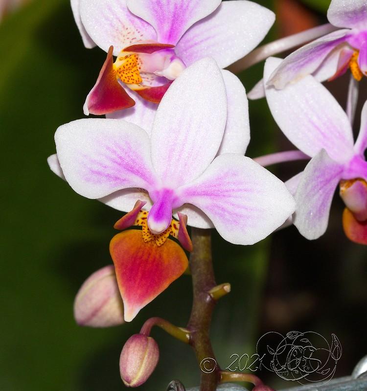 Phalaenopsis aphrodite x equestris (Intermedia) 51128098697_f9096cdd81_c