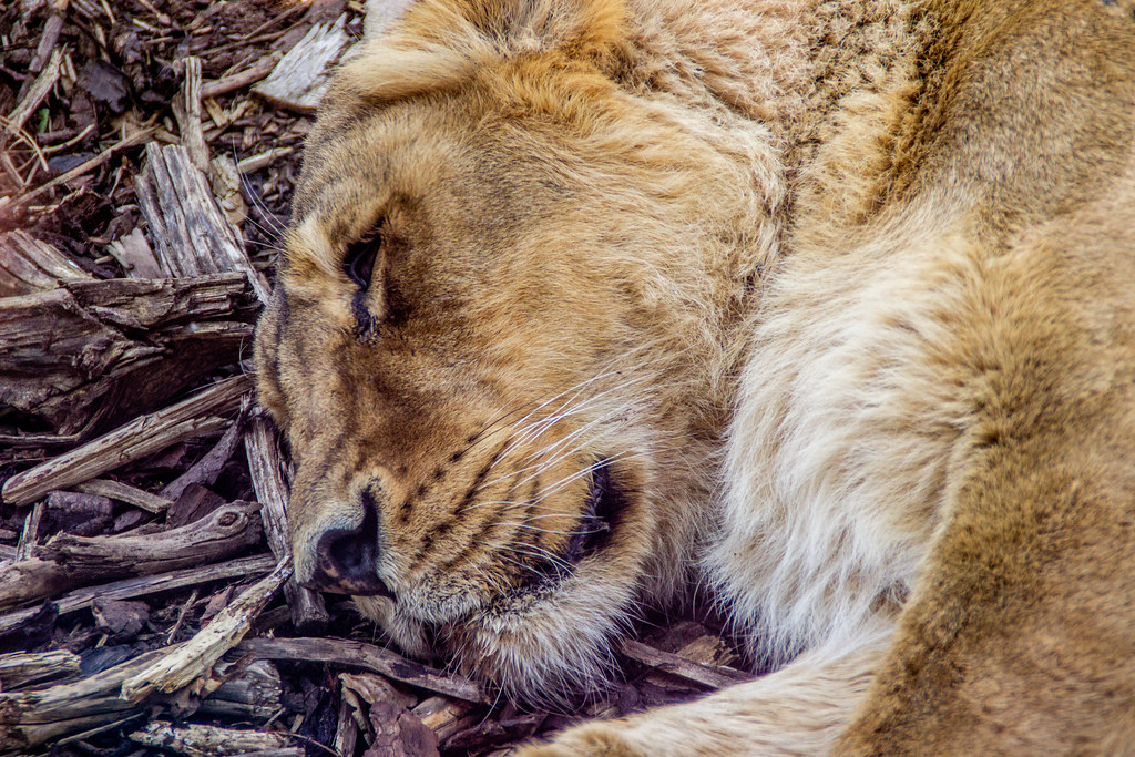 2021 - 04 - 17 - EOS 600D - Lioness - Chester Zoo - 001