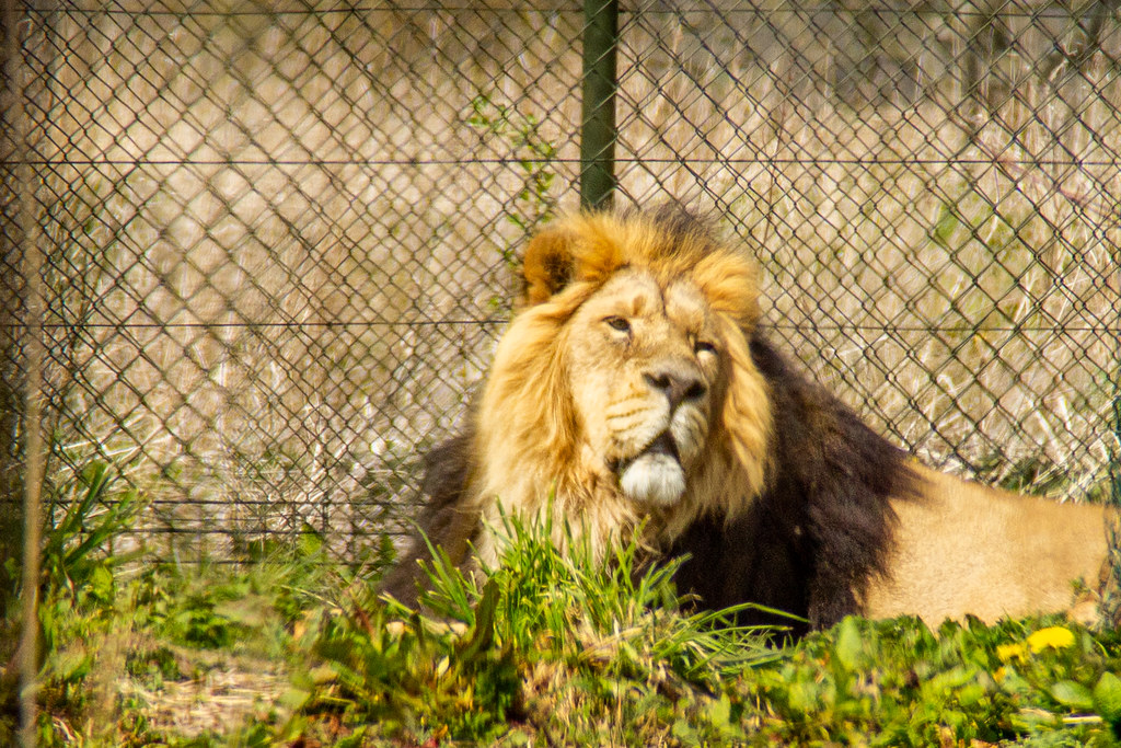 2021 - 04 - 17 - EOS 600D - Lion - Chester Zoo - 001