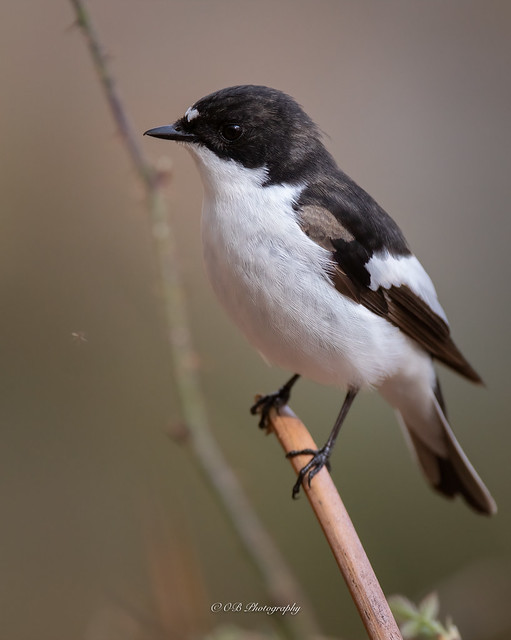This is my new mate, the pied flycatcher, hes gotten fairly used to my company the past few days.