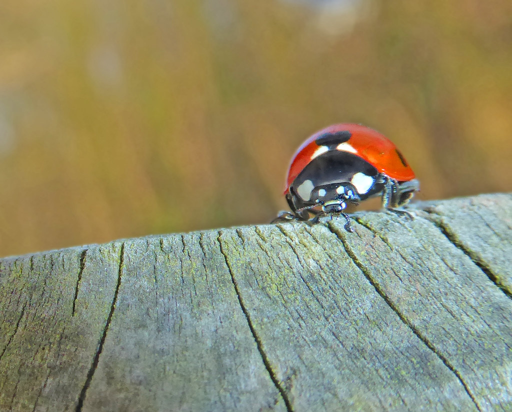 Ladybird on Top of Post1