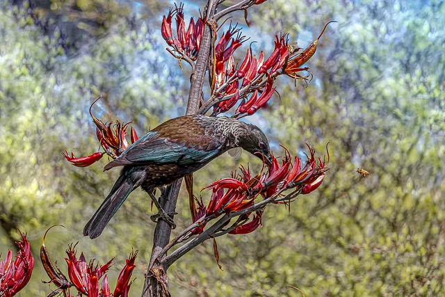 New Zealand native Tui  IMG_3339   Explored