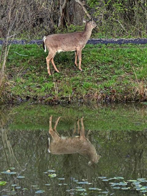 Early Morning Deer
