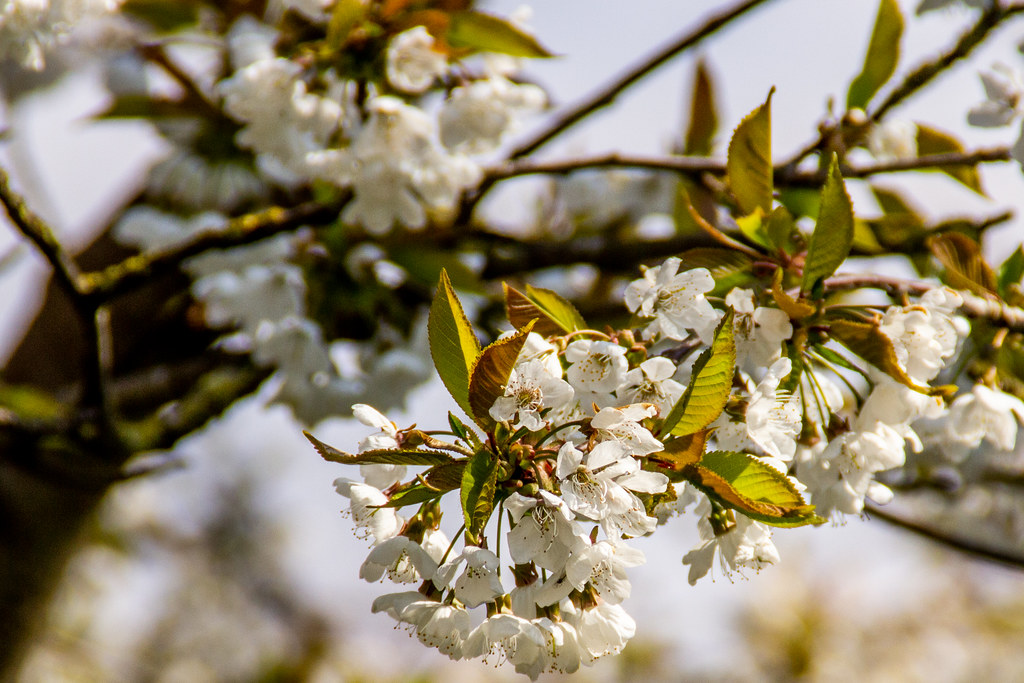 2021 - 04 - 17 - EOS 600D - Trees In Blossom - Chester Zoo - 000