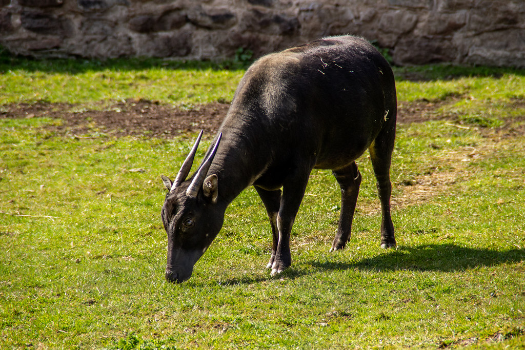 2021 - 04 - 17 - EOS 600D - Lowland Anoa - Chester Zoo - 001