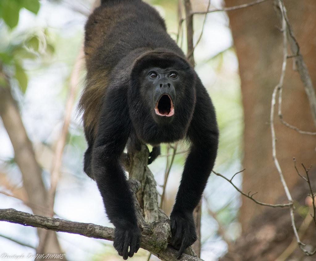 Singe hurleur - Costa Rica