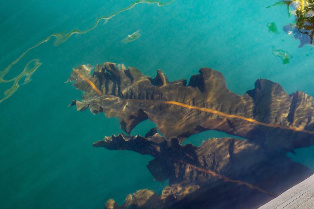 kelp 6982