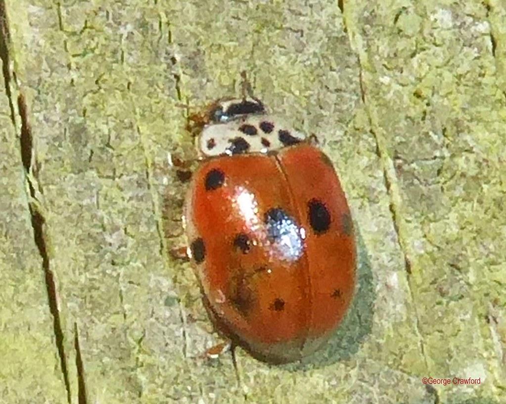 Ten Spot Ladybird1