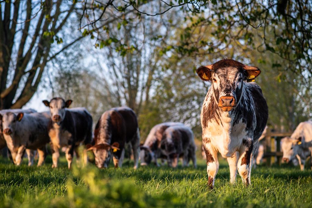 Calf un the meadows