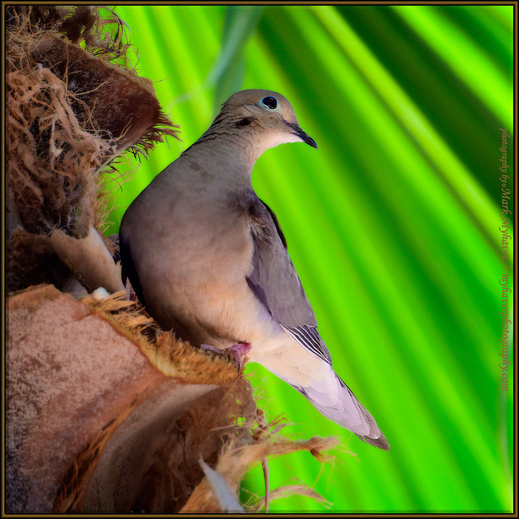 Dove On Palm s121429