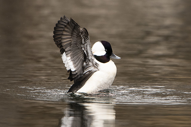 Bufflehead Stretching Wings