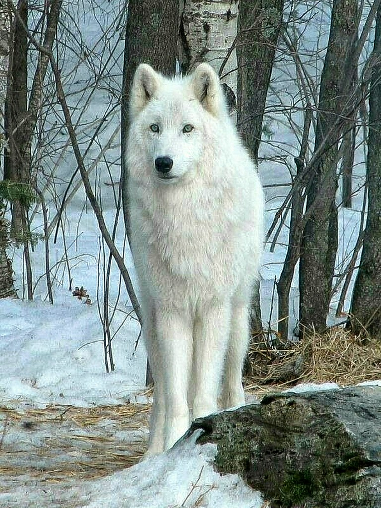 Regal White Wolf in the Winter