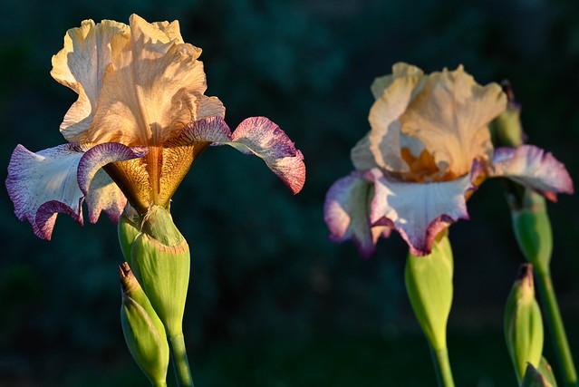 Sunset on the Iris