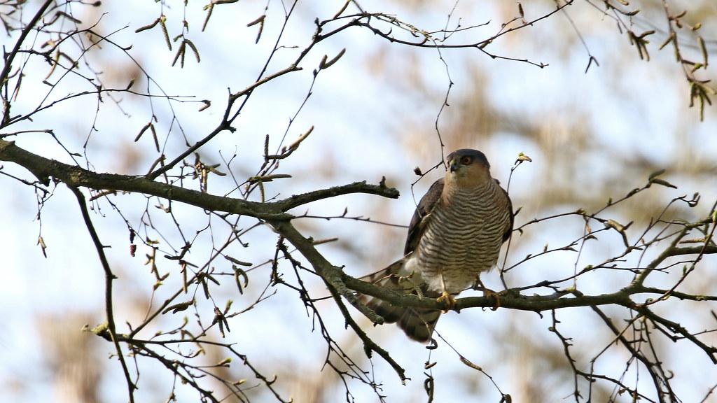 Sparrowhawk - male, 20042021, 04 f