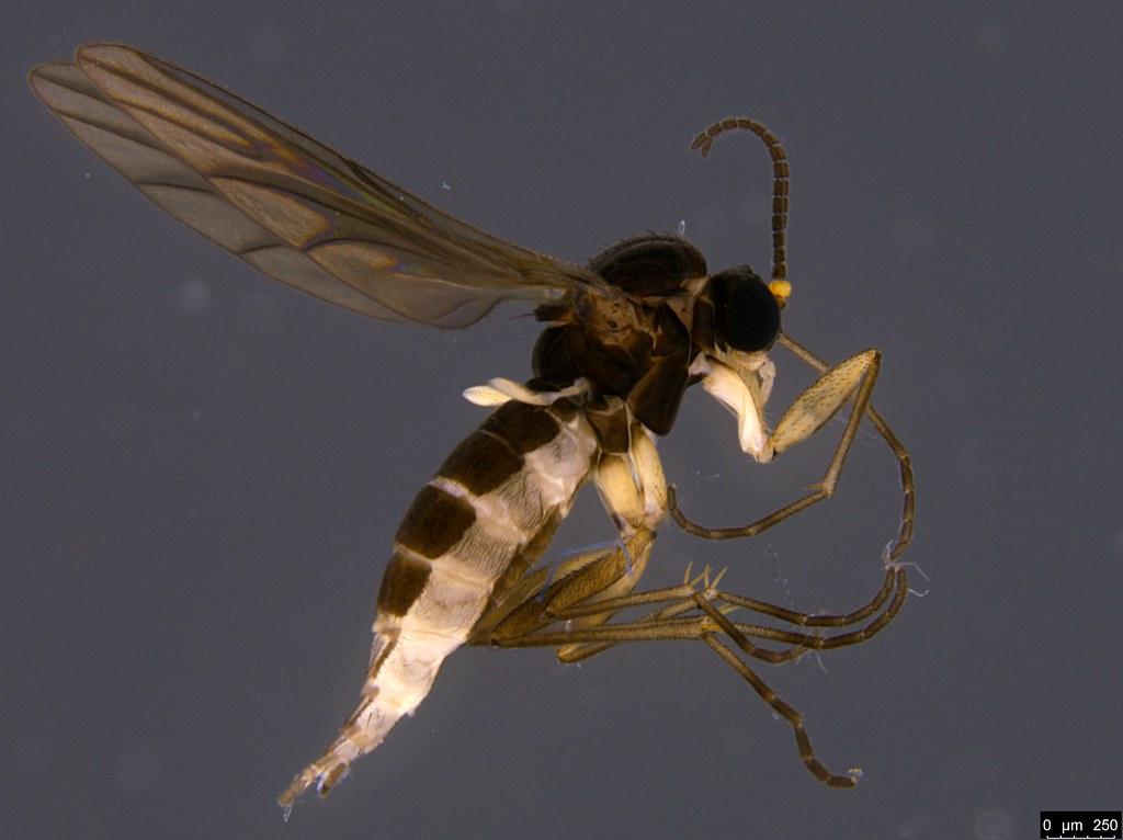 2a - Scaroidea sp.