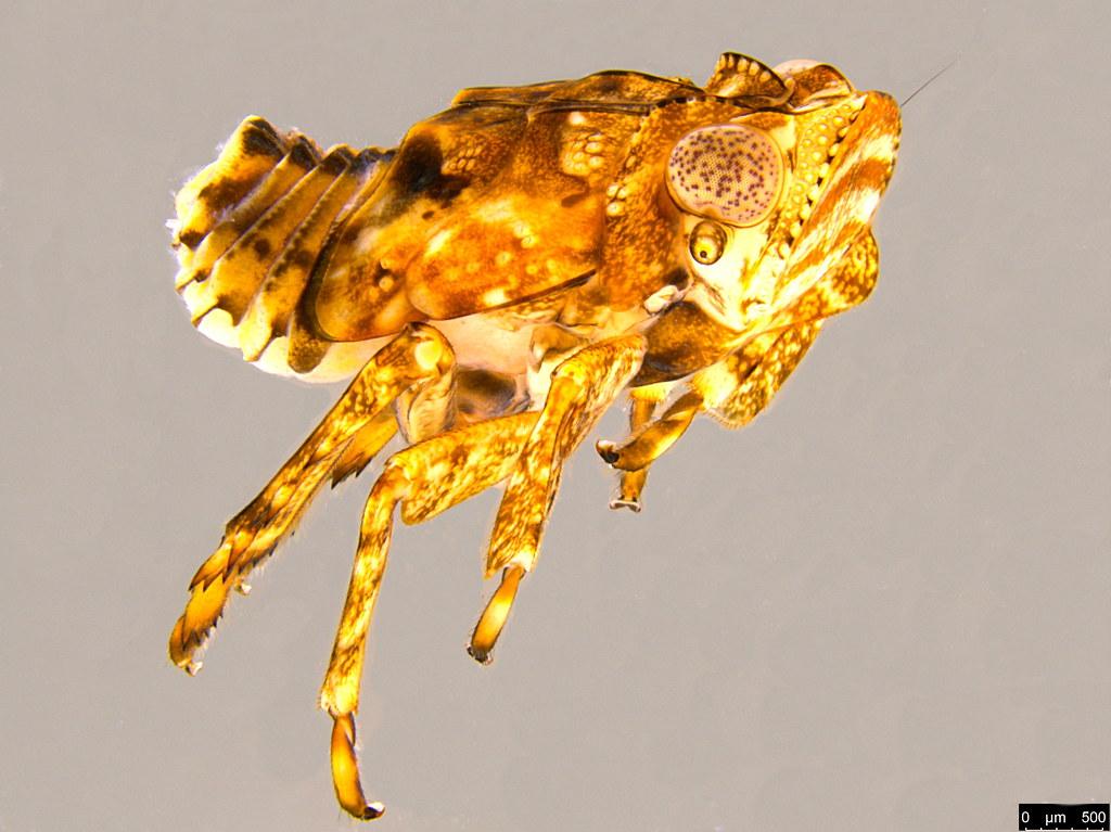 3c - Flatidae sp.