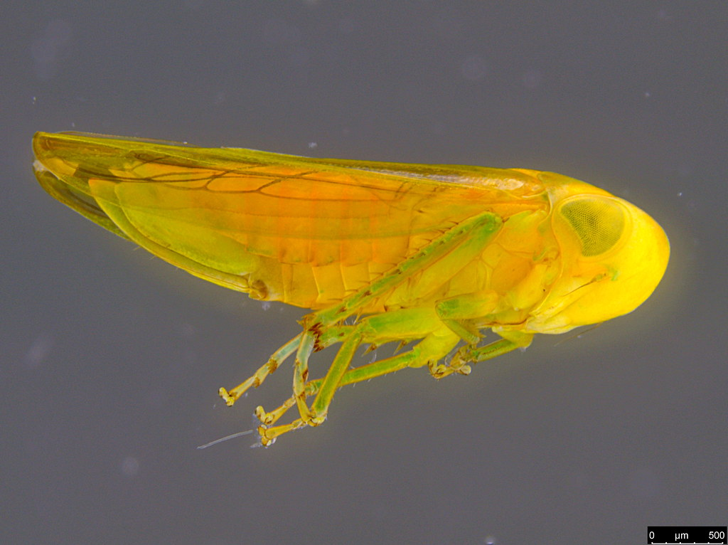 5a - Cicadellidae sp.