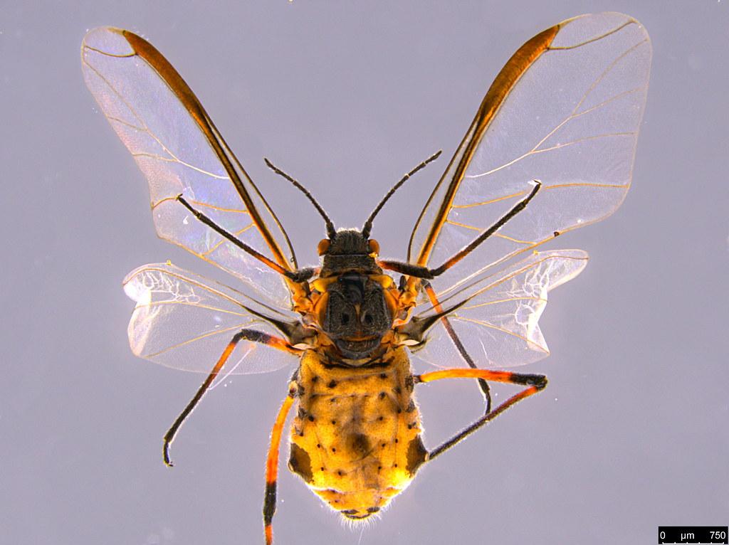 6g - Aphidoidea sp.