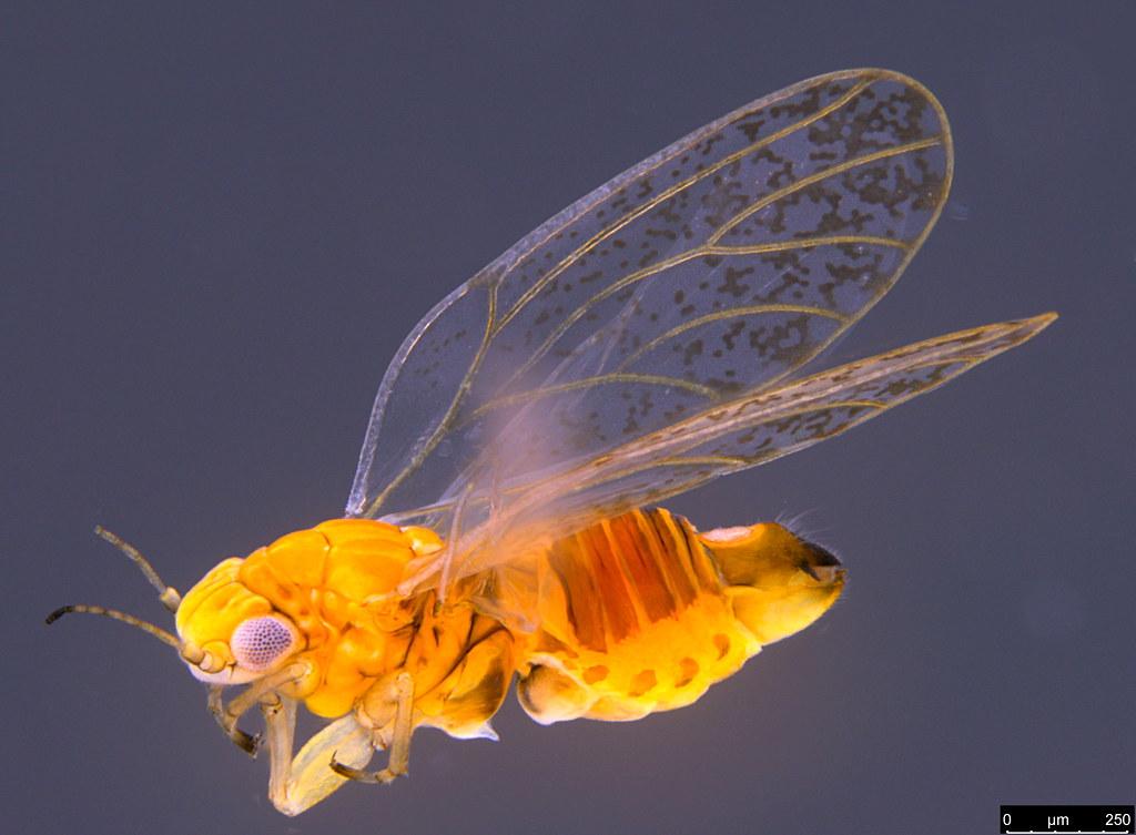 8c - Acizzia sp.