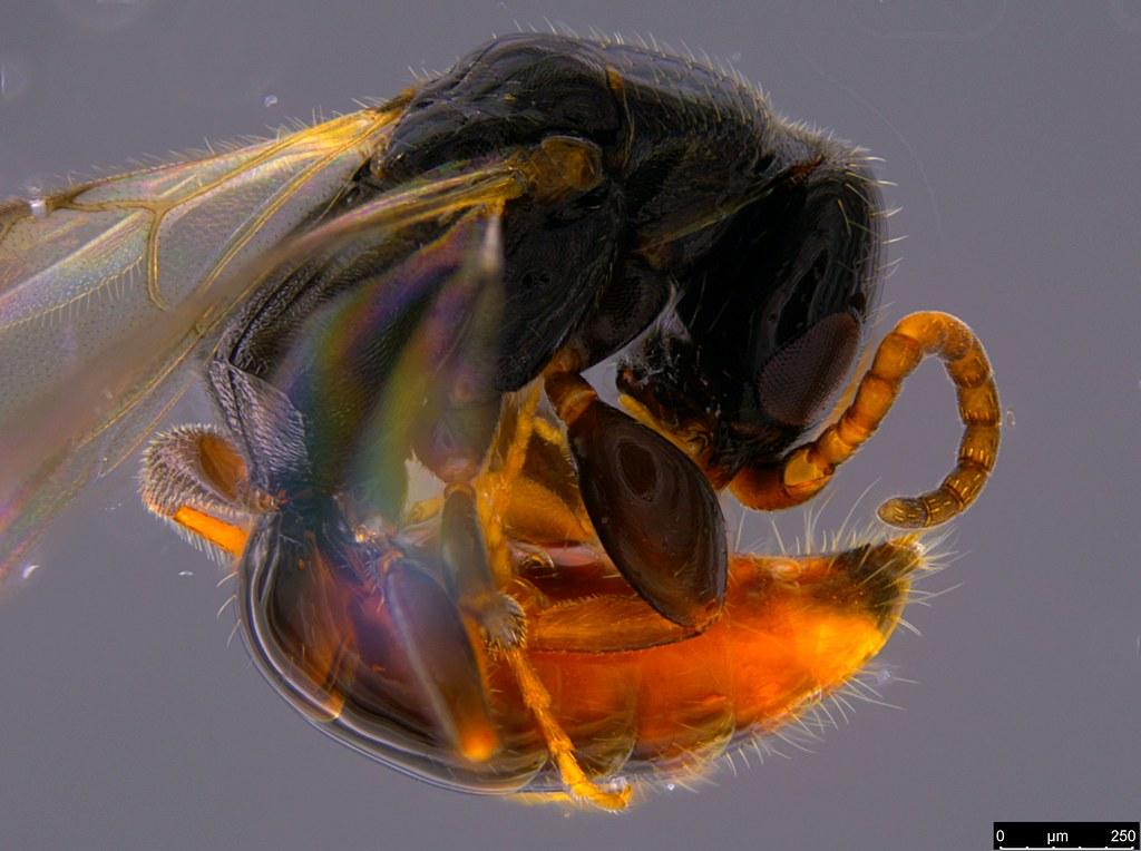 9b - Bethylidae sp.