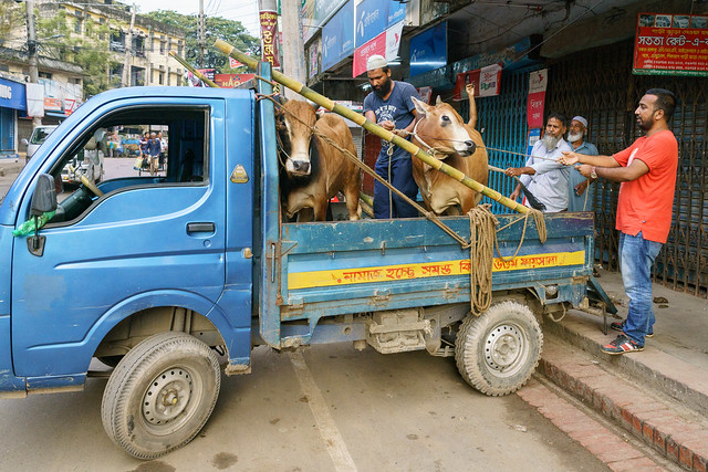 Cow Herding in Dhaka City