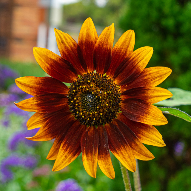 'Shock-o-lat' Sunflower at Portland Botanic Garden