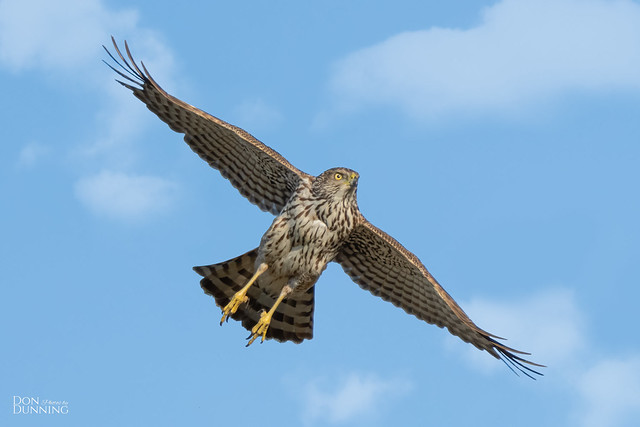 Immature Sharp-shinned Hawk (Accipiter striatus)