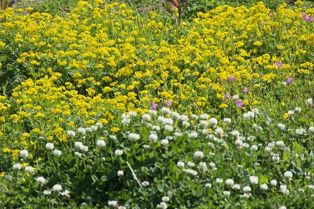 gialli e bianchi, ed anche rose