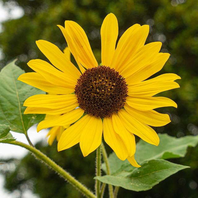 Sunflower at Portland Botanic Garden