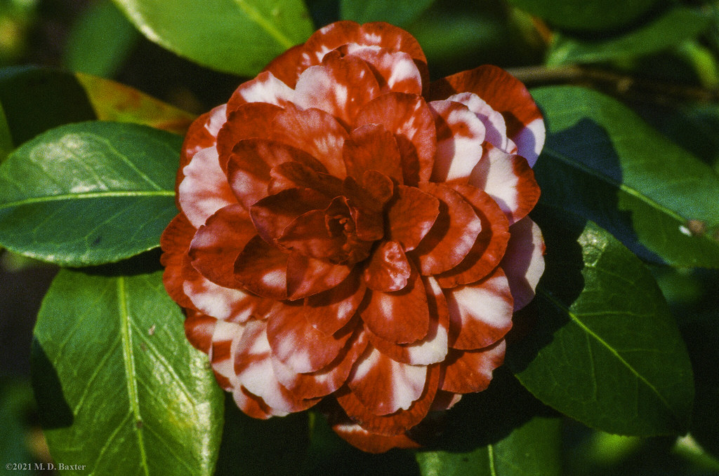Red and White Camellia in Bloom