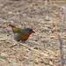 Tanzania: Buntastrild  -  Green-Winged Pytilla