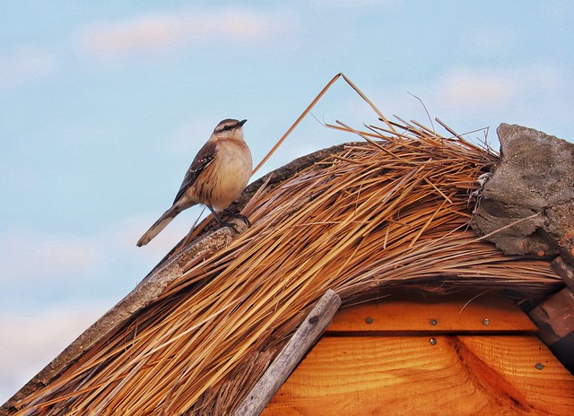 La calandria sobre el techo de paja