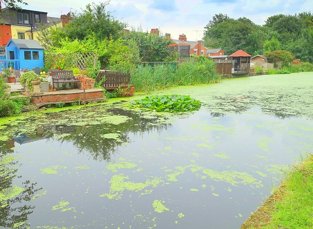Weeds on the canal at Preston