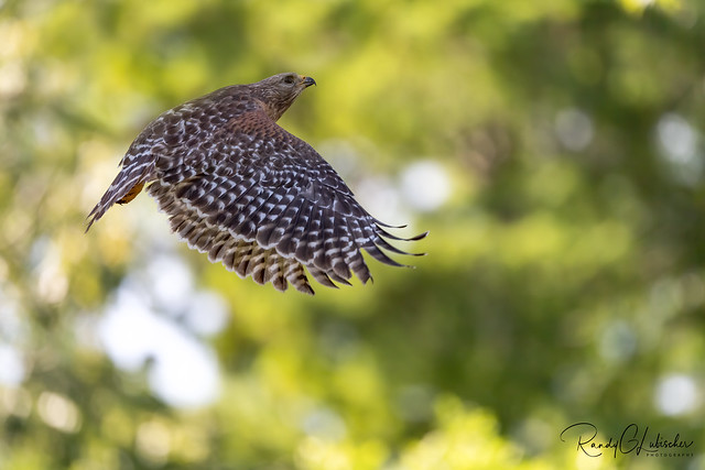 Red-shouldered Hawk | Buteo lineatus | 2021 - 3 [EXPLORED]