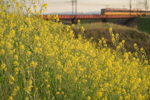 京都市 京都府 japan kyoto 伏見 菜の花 flower 川 river 夕景 sunset 京阪電車 railway